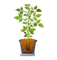 bean plant icon cartoon style vector image