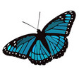 blue winged butterfly vector image