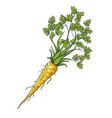 parsley root cartoon isolated object on white vector image vector image