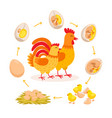 chicken life cycle embryo development from egg to vector image