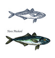 horse mackerel fish isolated sketch icon vector image vector image