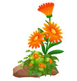 orange flowers on white background vector image vector image