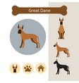 great dane dog breed infographic vector image