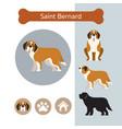 saint bernard dog breed infographic vector image vector image