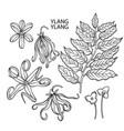 graphic ylang ylang set vector image vector image