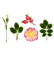 flowers buds and leaves of wild rose vector image