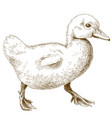 engraving of duckling vector image vector image