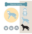 siberian husky dog breed infographic vector image
