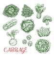 cabbage sketch icons of vegetables vector image vector image