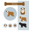 bulldog dog breed infographic vector image