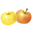 two yellow apples isolated on white background vector image