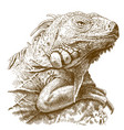 engraving of iguana head vector image