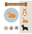 pembroke welsh corgi dog breed infographic vector image