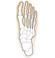 bones of a human foot vector image vector image