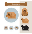 pekingese dog breed infographic vector image vector image