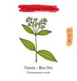 medicinal herbs of china chinese cinnamon vector image vector image