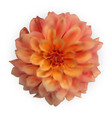 multicolored naturalistic 3d colorful dahlia vector image