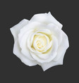 realistic white rose vector image vector image