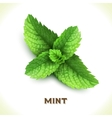 Mint leaf isolated on white vector image vector image