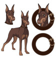 set doberman colored in a collar vector image vector image