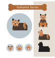 yorkshire terrier dog breed infographic vector image