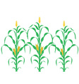 Corn Corn Stalk vector image vector image