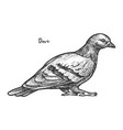 sketch feral pigeon or domestic dove vector image vector image
