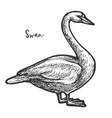 sketch white mute swan wildlife cygnus vector image