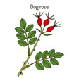 dog rose rosa canina medicinal plant vector image vector image