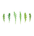 set of arugula rucola rocket salad fresh green vector image vector image