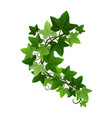 green climbing ivy creeper branch isolated vector image vector image