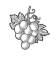 small bunch grapes sketch vector image vector image