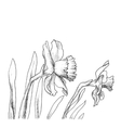 narcissus flowers hand drawn style vector image