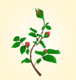Buds of climbing red rose stem vector image vector image