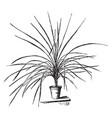 cordyline australis vintage vector image vector image