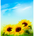 Nature background with sunflowers and blue sky