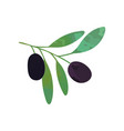 two black ripe olives on branch with green leaves vector image vector image