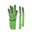 asparagus hand drawn isolated icon vector image vector image