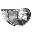 snail shell used during the renaissance as a vector image vector image