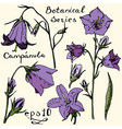 campanula color botanic series vector image