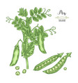 pea plant isolated on white background hand drawn vector image vector image