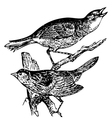 Seaside sparrow engraving vector image