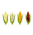 Four Colors of Fresh Corn with Husk and Silk vector image vector image