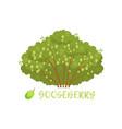 gooseberry garden berry bush with name vector image vector image