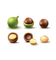 set of macadamia nuts vector image vector image