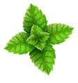 mint green leaves for mojito vector image