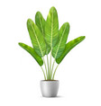 banana tree leaves in flower pot vector image vector image