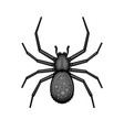 spider black arachnid on white background vector image