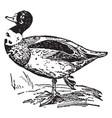 sheldrake duck vintage vector image vector image