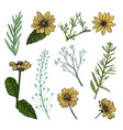 helianthus and herb plants hand drawn sketch vector image